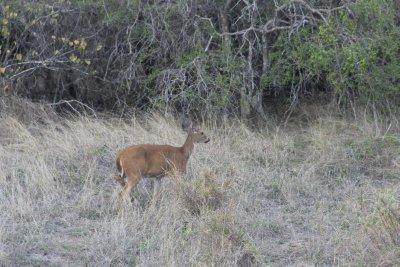 Cuban deer