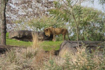 Lion on Safari Ride