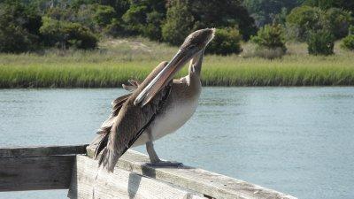 pelican grooming