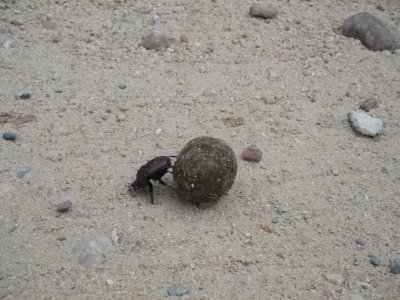 Dung beatle