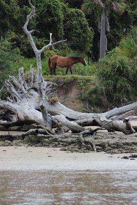 Cumberland island wild horse