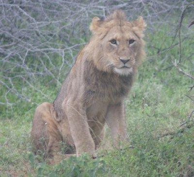 Kruger lion 3