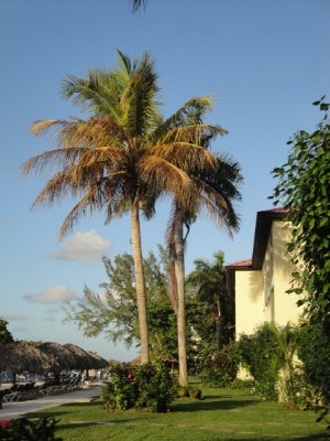 Montego Bay Palm Tree