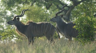 Two Kudu Bulls