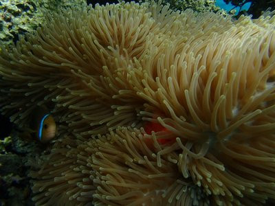 anemone with clown fish