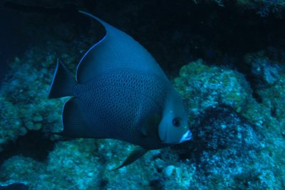 another angelfish