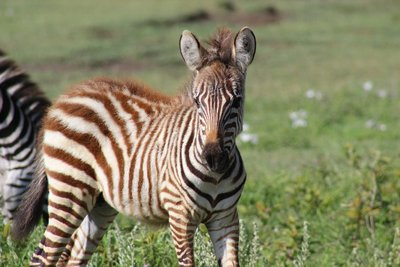 another baby zebra