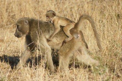 baboon taxi