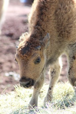 baby bison