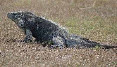 big boy iguana