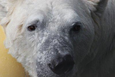 close up bear