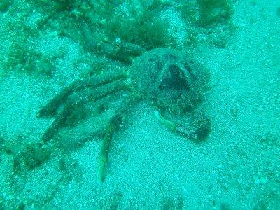crab carcass