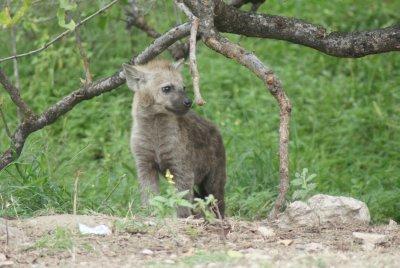 curious baby hyena