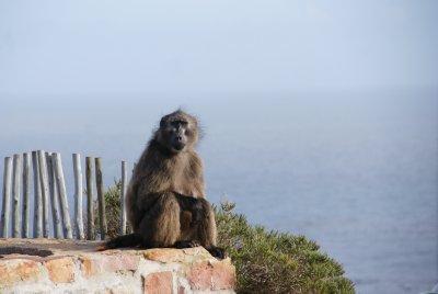 dangerous baboon