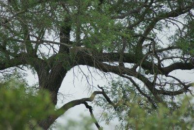 distant leopard