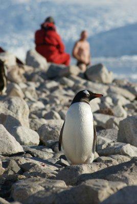 gentoo with polar plunger in background