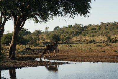 giraffe at watering hole