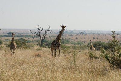 giraffe formation