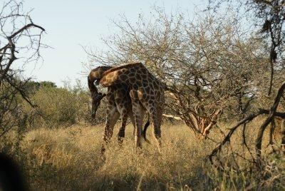 giraffe wresting