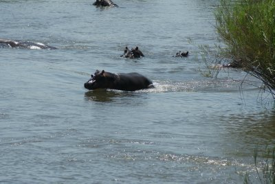 hippo getting in water