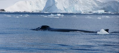humpback blow hole