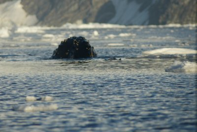 humpback body