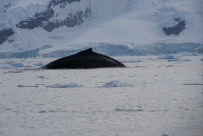 humpback fin
