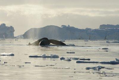 humpback tail 13