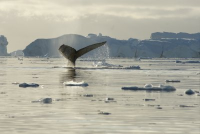humpback tail 15