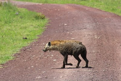 hyena crossing