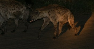 hyenas on the prowl