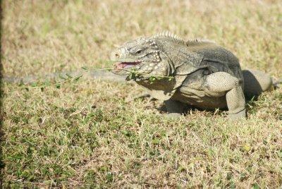 iguana snacks