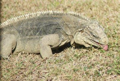 iguana tongue