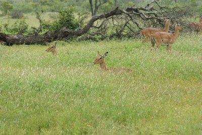 impala heads