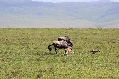 jackal chase 2