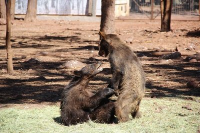 juvenile bears playing