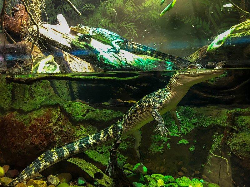 large_American_Alligators.jpg