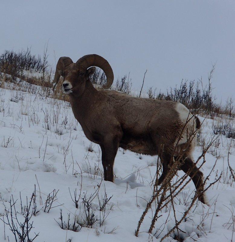 large_Bighorn_Sheep_Ram.jpg