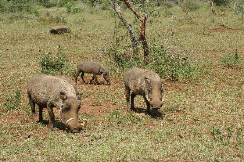 blond warthogs