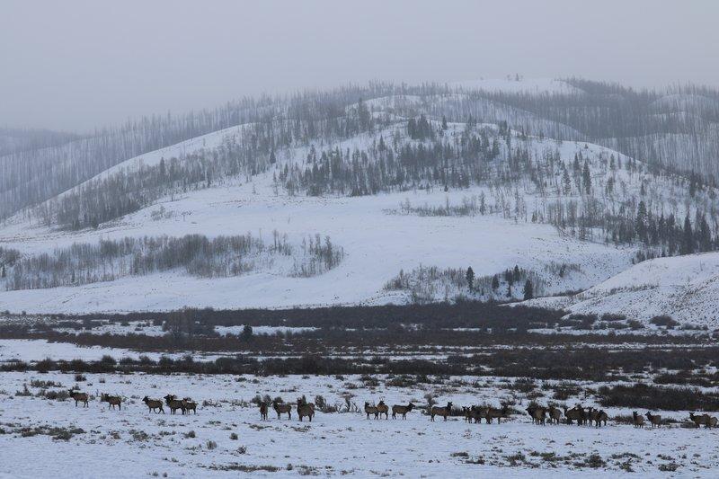 large_Elk_herd_in_Grand_Teton.jpg