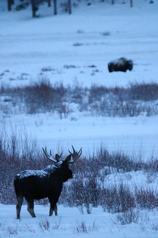 large_Moose_looking_at_bison.jpg