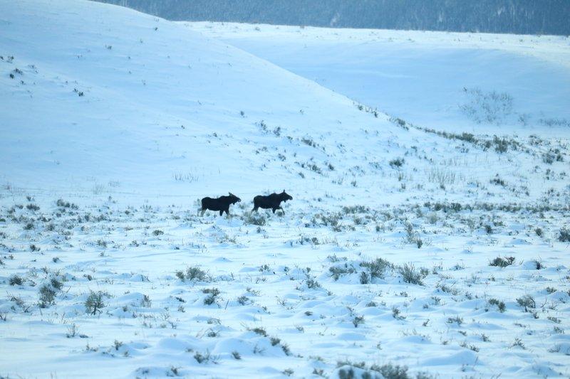 large_Moose_trek.jpg