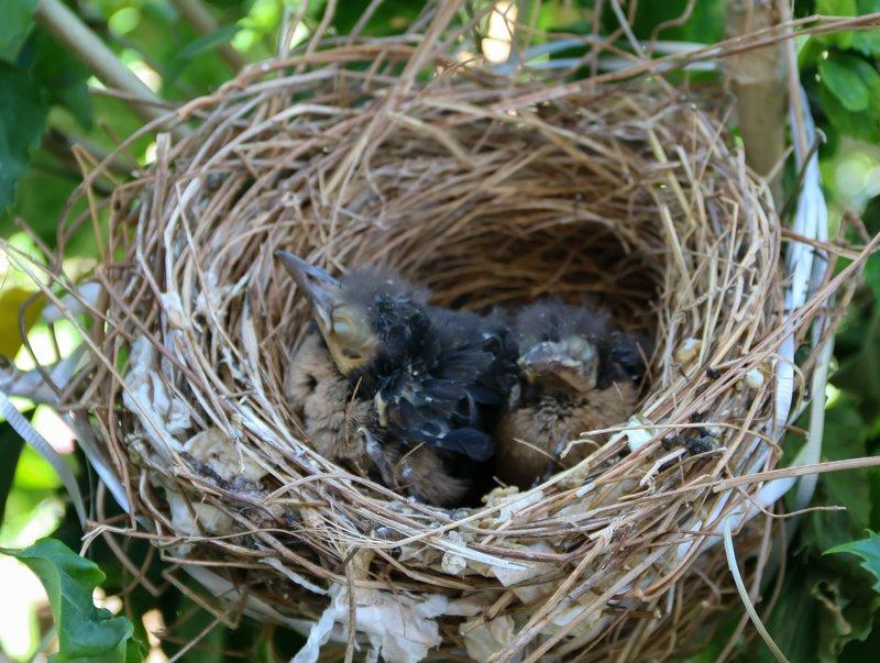 large_baby_birds.jpg