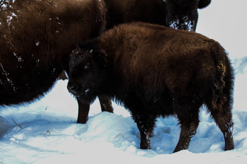large_baby_bison__1_of_1_.jpg