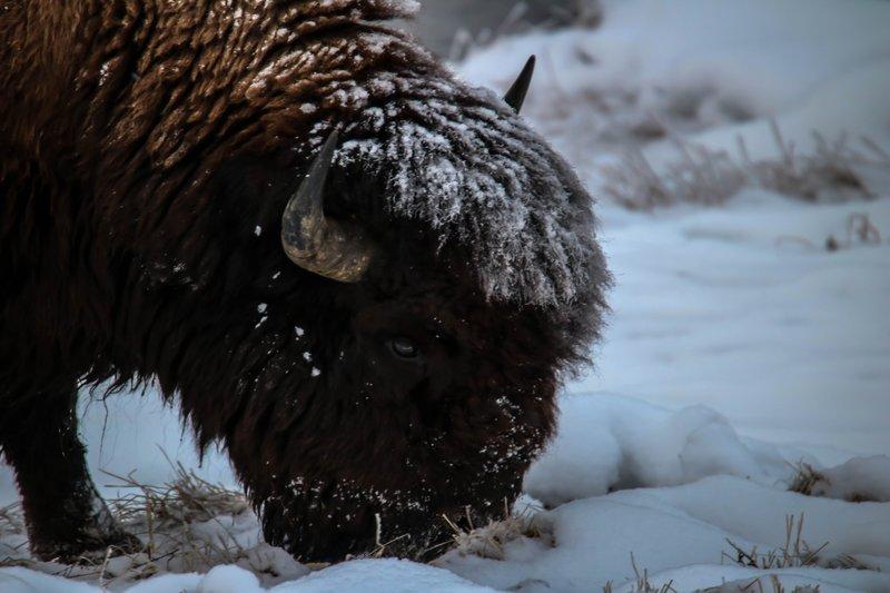 large_bison_eating__1_of_1_.jpg