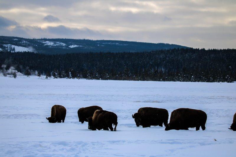 large_bison_grazing__1_of_1_.jpg