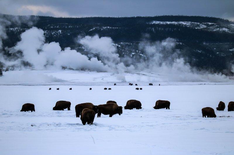 large_bison_herd..nd__1_of_1_.jpg