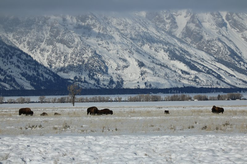 large_bison_herd.jpg
