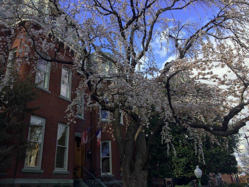 large_cherry_blossom_tree.jpg