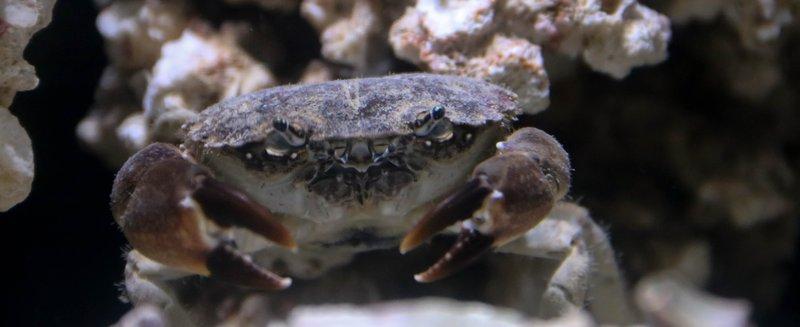 large_crab__1_of_1_.jpg